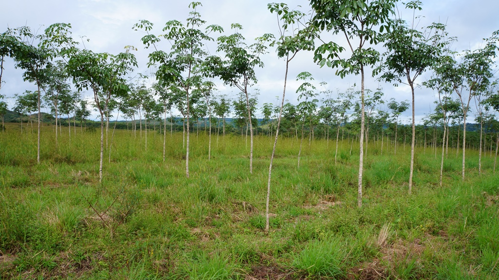 timberfarm-kautschukplantage-panama